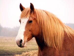 Alfie Palomino draught horse portrait