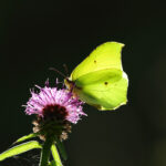 Brimstone feeding dark background Genepteryx rhamni Halls Farm Suffolk