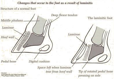 Laminitis Fact Sheet Honeychop