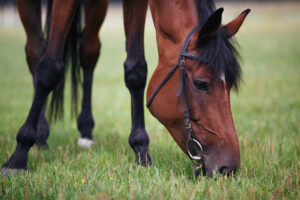 Portrait of beautiful chestnut horse eating grass