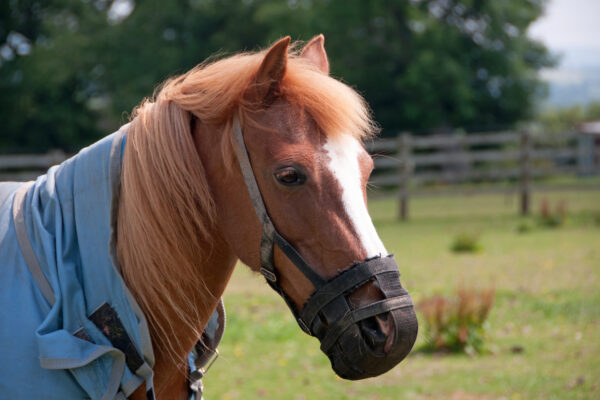 Pretty pony wearing a grazing muzzle to avoid obesity