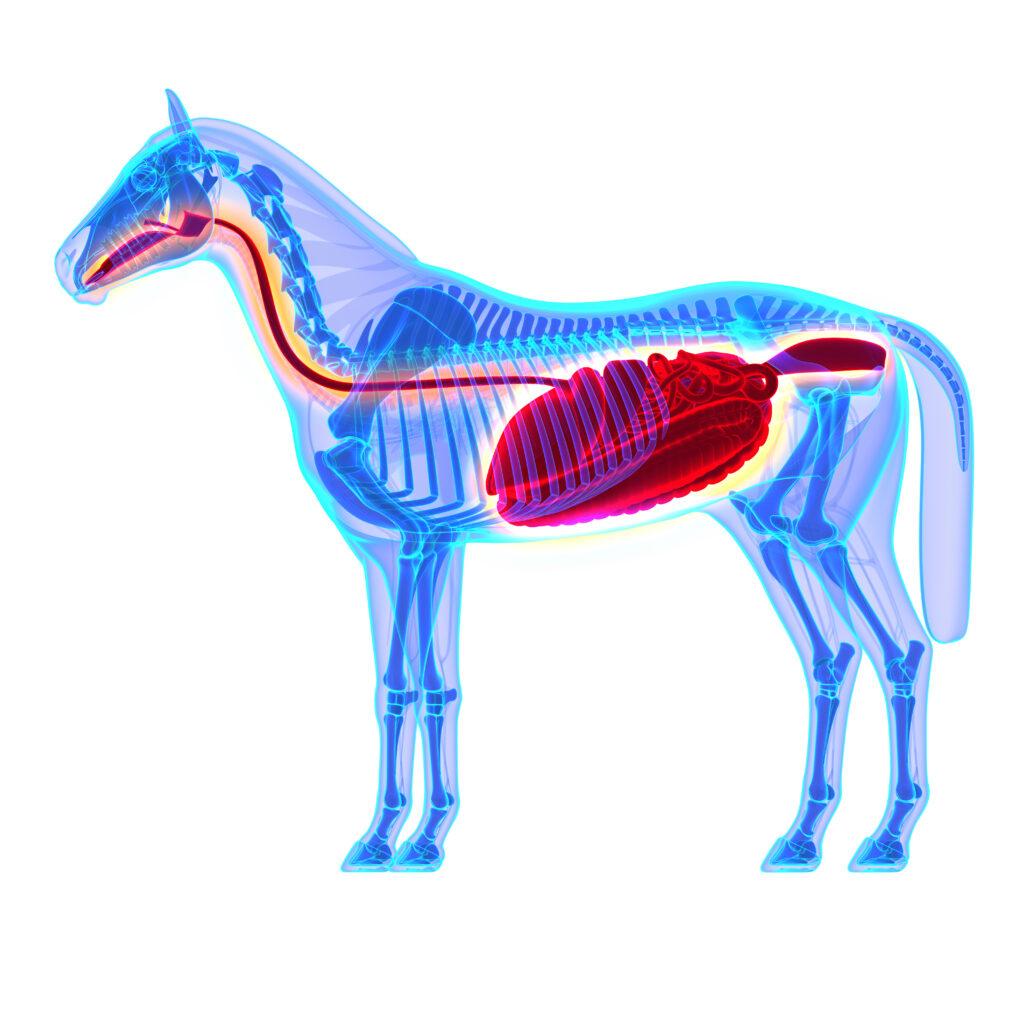 Horse Digestive System - Horse Anatomy