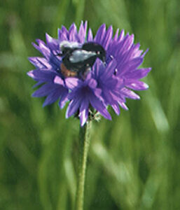 cornflower and bee Halls Farm Suffolk