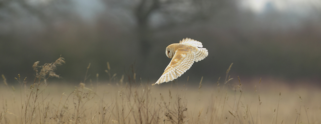 barn-owl-crop